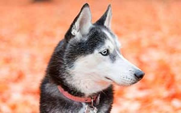 Assurance chien staffy : Devis en ligne gratuit